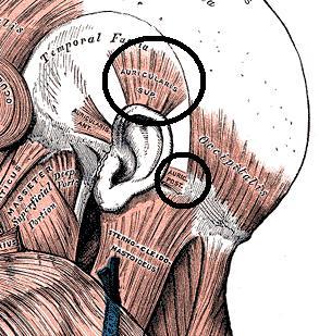 ear muscle