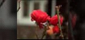 Plant a rose bush