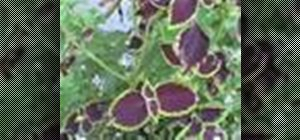 Pinch coleus plants