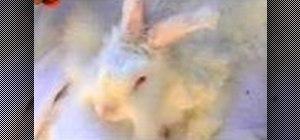 Shear a rabbit