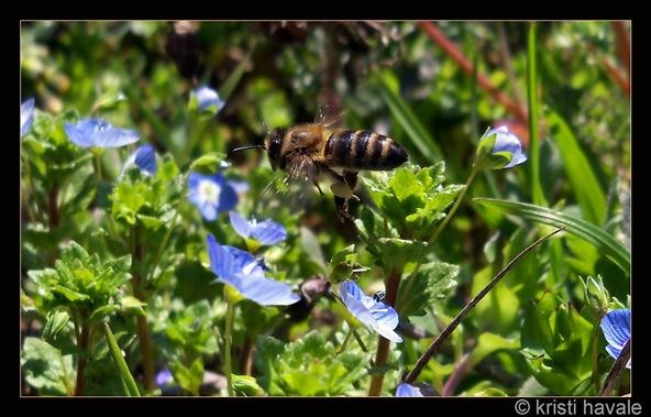 Insect Photography Challenge: Bee