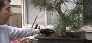 Lift and repot a black pine bonsai