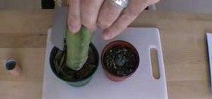 Graft Lophophora peyote onto the scion plant