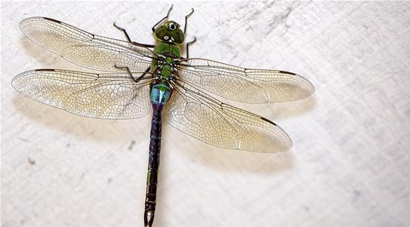 Insect Photography Challenge: Dragonfly