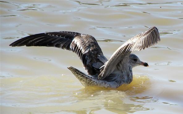 Gull Pre-flight