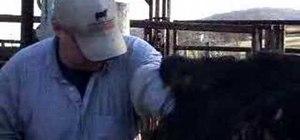 Artificially inseminate a cow