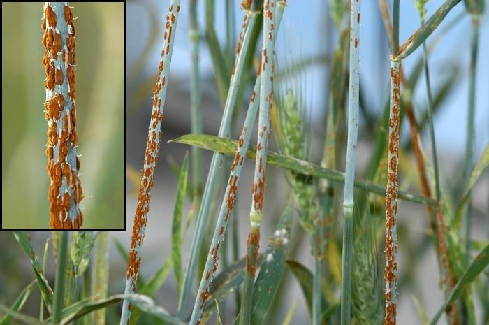 Bye Bye, French Bread & Pasta—There's a Fungal Outbreak Killing Europe's Wheat Crops