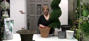 Pot a spiral topiary for outdoor or indoor use