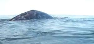 OMG. Surf then touch a Bigass Whale at Westwards