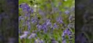 Sow bluebell seeds