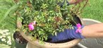 How to Plant carpet roses in a container