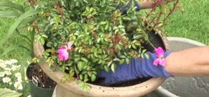 Plant carpet roses in a container