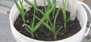 Plant garlic in containers instead of the ground