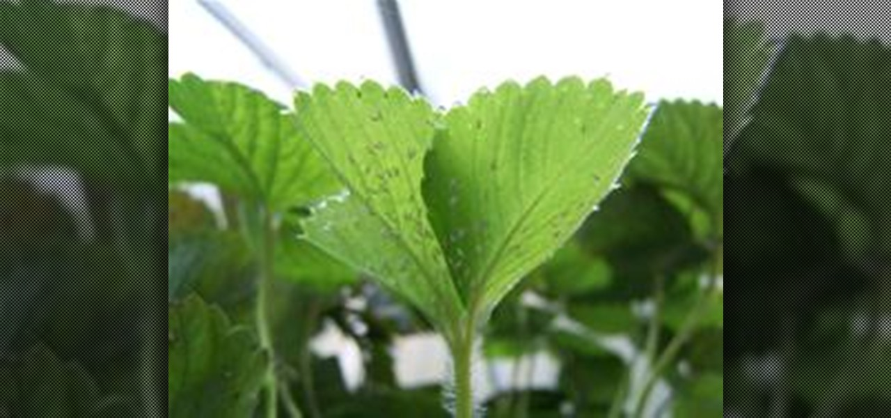 How To Make Your Own Whitefly Sticky Trap Gardening