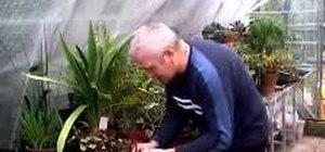 Propagate cyclamen plants