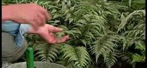 Grow Japanese ferns