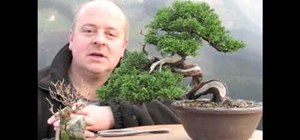Style a yamadori Japanese larch shohin bonsai tree