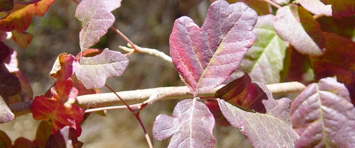 The Top 5 Home Remedies for Treating Poison Ivy & Poison Oak Rashes