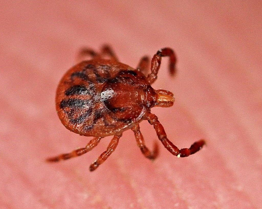 Infant in Connecticut Infected with Rare Disease Spread by Ticks