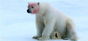 Polar Bears Play Bloody Game of Soccer With Snowball Spycam
