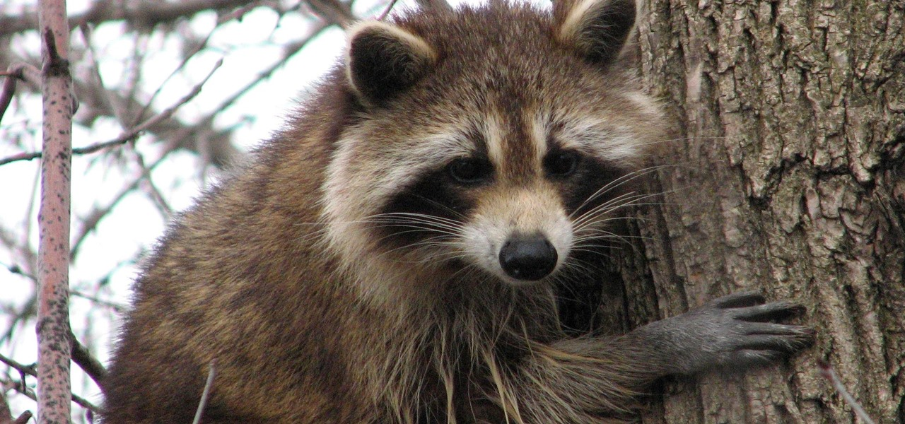 Rare Raccoon Parasite Causing Blindness & Severe Brain Damage Could Be More Widespread Than We Knew