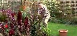 Repot Canna lilies