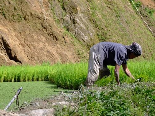 Philippine Government to abandon small rice farmers...