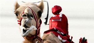 Arabian Camels Tortured By Remote Control Robot Jockeys