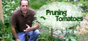 Prune tomato plants by removing the suckers