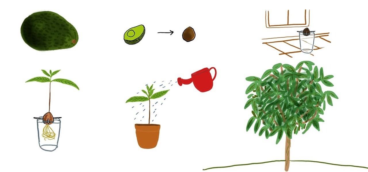How to Grow an Avocado Tree at Home « The Secret Yumiverse