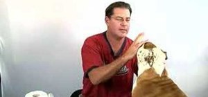 Clean your bulldog's eye folds