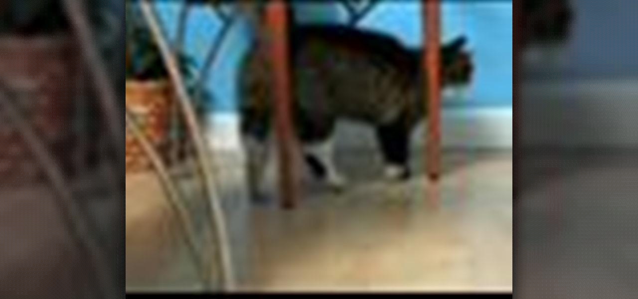 birman cat price