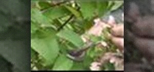 Prune hydrangea plants