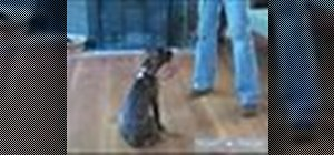 Traina boxer puppy