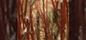 Care for and prune red twig dogwood shrubs