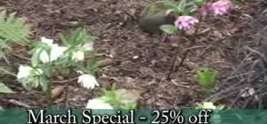 Grow and care for hellebores