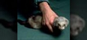Handle and restrain a ferret for injections