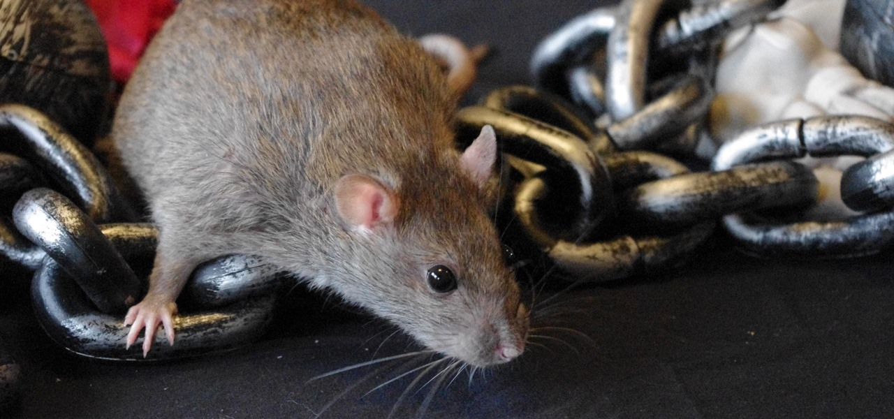 A Rare Disease Outbreak in the Bronx Linked to Eewww Source—Rat Pee