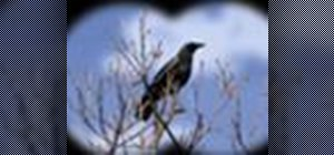 Identify the common crow when bird watching