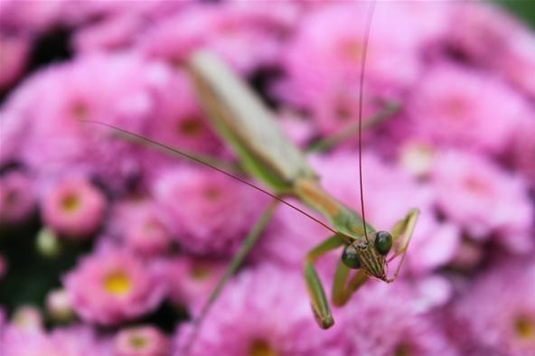 Bokeh Photography Challenge: Praying Mantis on Pink Flowers