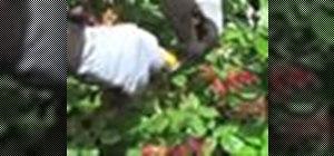 Prune rosebushes