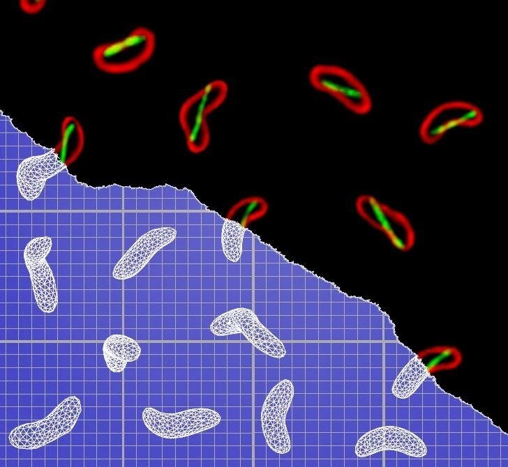 Shapeshifting Cholera Bacteria Corkscrew Themselves to Twist into the Gut