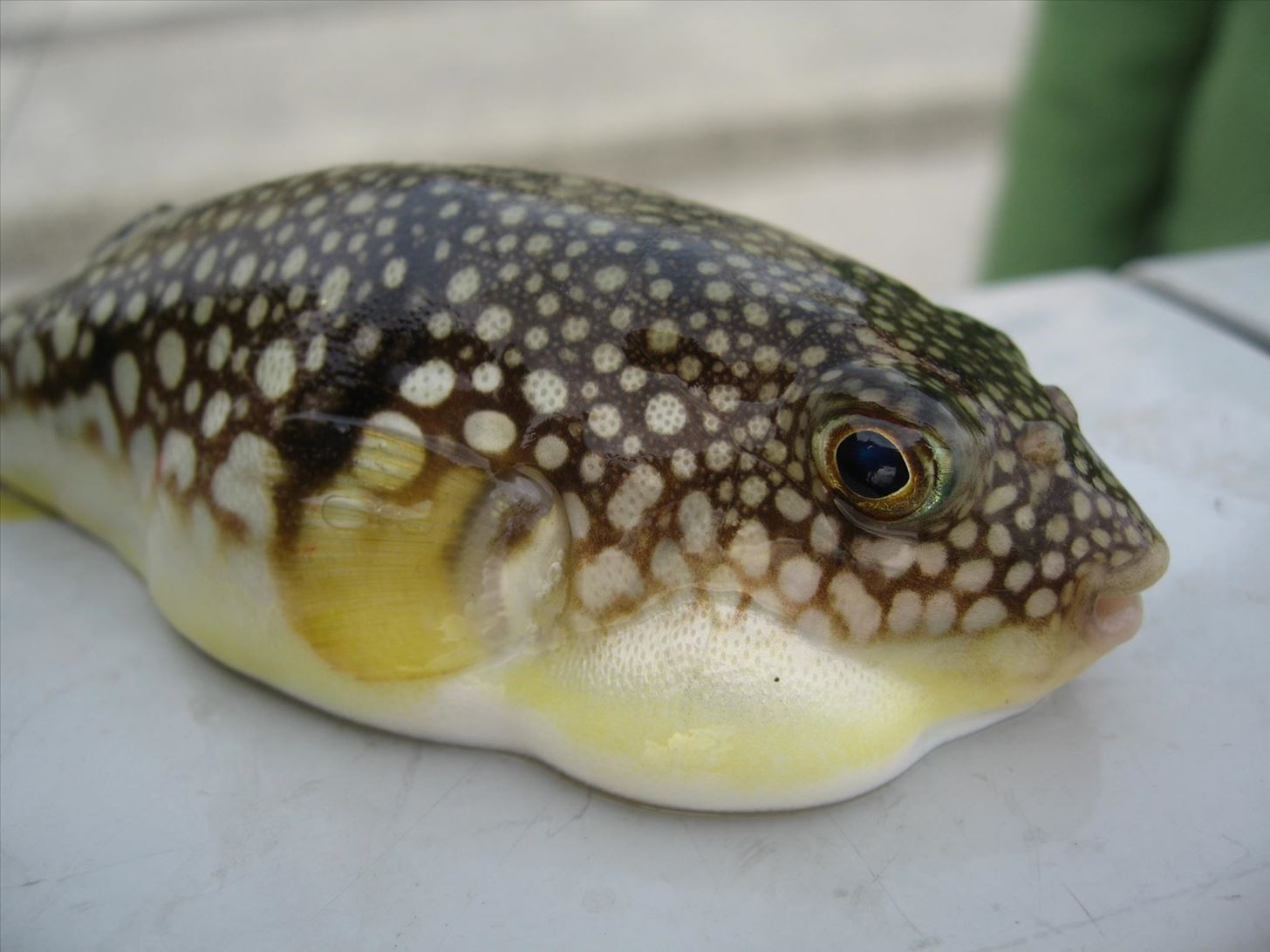 Weird Ingredient Wednesday: Would You Risk Your Life to Eat This Deadly Fish?
