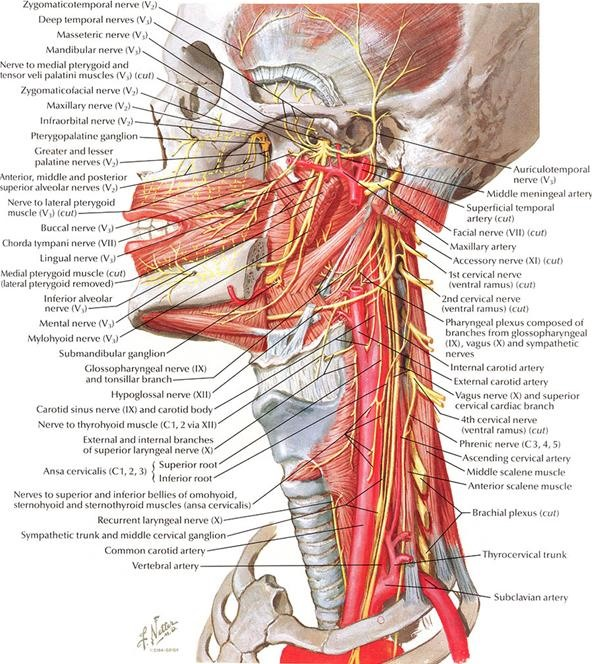 Dissecting a Human Head Through Anatomical Illustrations