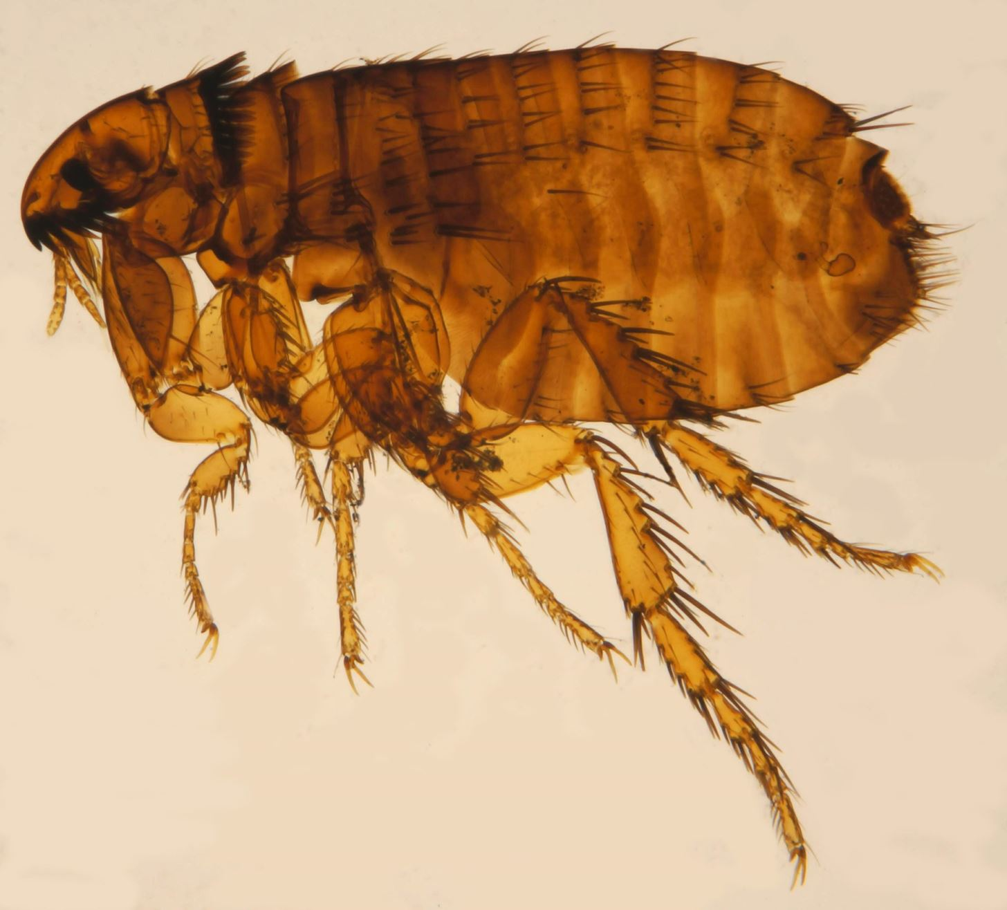 Potentially Serious Flea-Spread Disease Expanding Its Territory in Texas