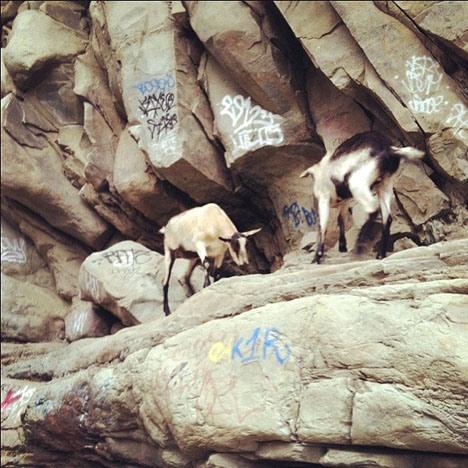 Pet Portrait Challenge: Roaming Pet Goats