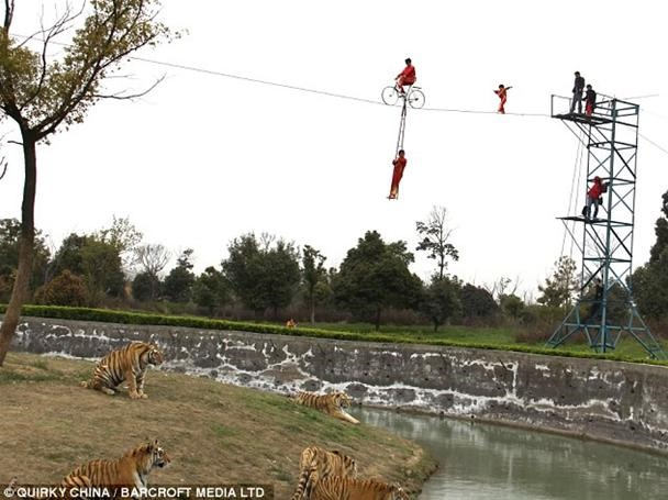 World's Youngest Baby Acrobat Toddles Above Bloodthirsty Tigers