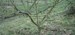 Understand why apple trees need to be pruned