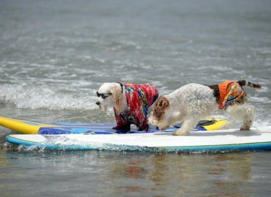 "Believe It Or Not, These Dogs Are ""Serious"" Surfers"