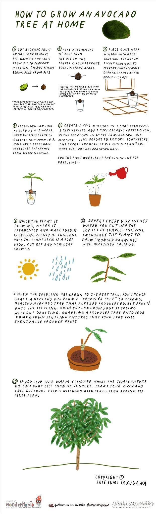 How to Grow an Avocado Tree at Home